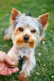 Cute small yorkshire terrier. Is lying on a green lawn outdoor shaking hands with a man Royalty Free Stock Photography