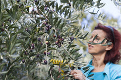 Cute smiling brunette woman harvesting organic olives Stock Image