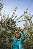 Cute smiling brunette woman harvesting organic olives Royalty Free Stock Photo