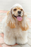 Cute smiling dog breed American Cocker Spaniel Royalty Free Stock Image
