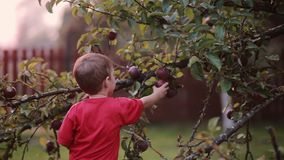 Cute smiling little boy helping with gathering and picks up apples from apple tree outdoor in the summer day. Cute smiling little boy in red shirt helping with stock video footage