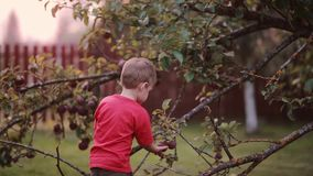 Cute smiling little boy helping with gathering and try to picks up apples from apple tree, then looking to the camera. Cute smiling little boy in red shirt stock video footage