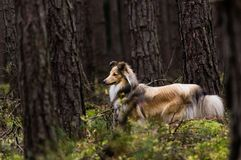 Little Shetland Shepherd Royalty Free Stock Photos