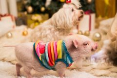 Cute smiling pink mini pig, background blurred stock photography
