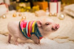 Cute smiling pink mini pig, background blurred stock photo