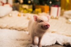Cute smiling pink mini pig, background blurred royalty free stock photography