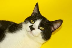 Tuxedo Cat Over Yellow Background. Cute Smiling Tuxedo Cat With Funny Face.Tuxedo Cat Over Yellow Background. Close up of a Cat, Cropped Shot. Animal Portrait Stock Photography