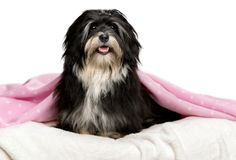 Cute sitting black and white Havanese dog in a bed Royalty Free Stock Photo