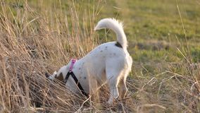 Dog digging a hole. Cute smooth fox terrier digging a hole royalty free stock image