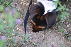 Dog digging a hole. Cute smooth fox terrier digging a hole stock photography