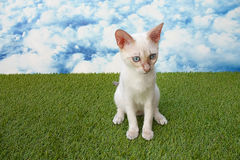 Cute snow bengal kitten Royalty Free Stock Photo
