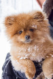 Cute Snow Covered Pomeranian Dog Royalty Free Stock Image