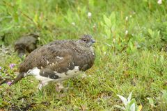 Cute snow grouse perched in the grass, Iceland royalty free stock photos