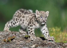 Snow leopard kitten prowling Stock Images