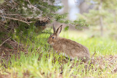 Cute snowshoe hare feeding on grass. Stock Photo