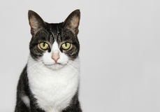 Cute but sober cat portrait isolated. Isolated portrait of a cute but sober stray cat with tabby fur on the head and white chest and nose stock photo