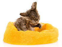 Cute soggy kitten after a bath.  on white backgrou Royalty Free Stock Image