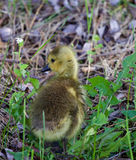 Cute solely young goose Royalty Free Stock Photo