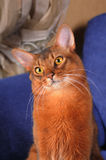 Cute somali cat portrait. With head inclined stock photo