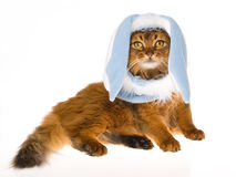 Cute Somali cat wearing blue bunny hat. Somali cat wearing blue bunny rabbit hat with long ears, on white background stock photos