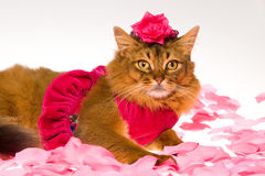 Cute Somali cat wearing pink dress and rose hat. Somali cat wearing frilly pink dress and rose headband lying on pink petals, on white background stock images