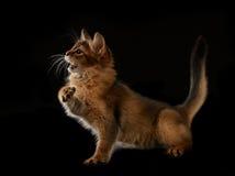 Cute somali kitten on black Royalty Free Stock Photos