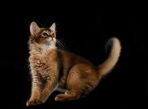 Cute somali kitten on black Stock Image