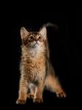 Cute somali kitten on black Royalty Free Stock Photo
