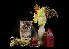 Cute somali kitten on black. Cute somali kitten on the black background with autumn composition from leaves Stock Photo