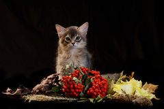 Cute somali kitten on black. Cute somali kitten on the black background with autumn composition from leaves Royalty Free Stock Images