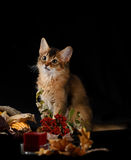 Cute somali kitten on black. Cute somali kitten on the black background with autumn composition from leaves Royalty Free Stock Photos