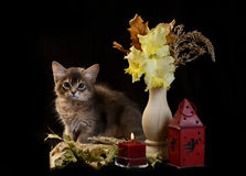 Cute somali kitten on black. Cute somali kitten on the black background with autumn composition from leaves Stock Image