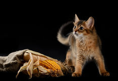 Cute somali kitten on black. Cute somali kitten on the black background playing with corn Stock Photography