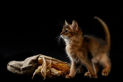 Cute somali kitten on black. Cute somali kitten on the black background playing with corn Stock Photos