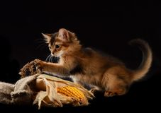 Cute somali kitten on black. Cute somali kitten on the black background playing with corn Stock Images