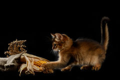 Cute somali kitten on black. Cute somali kitten on the black background playing with corn Royalty Free Stock Image