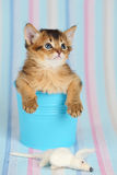 Cute somali kitten in a bucket with mouse. Cute somali kitten in a bucket on blue striped background Royalty Free Stock Photo