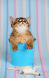 Cute somali kitten in a bucket with mouse. Cute somali kitten in a bucket on blue striped background Stock Photography
