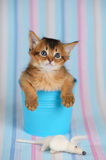 Cute somali kitten in a bucket with mouse. Cute somali kitten in a bucket on blue striped background Stock Photos