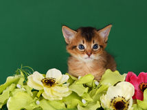Cute somali kitten on the green background. With flowers royalty free stock images