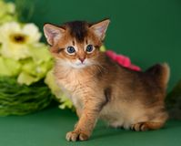 Cute somali kitten on the green background. With flowers royalty free stock photography