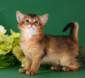 Cute somali kitten on the green background. With flowers royalty free stock photo