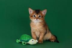 Cute somali kitten on the green background. Cute somali kitten with toy on the green background stock image