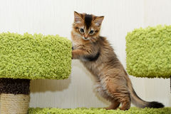 Cute somali kitten indoor. Portrait of a cute somali kitten in the house Stock Image