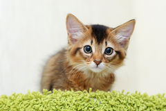 Cute somali kitten indoor Stock Image