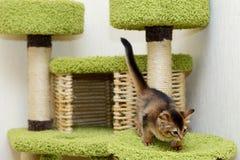 Cute somali kitten indoor Stock Photography