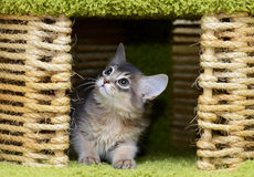 Cute somali kitten indoor. Portrait of a cute somali kitten in the house Royalty Free Stock Photo