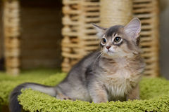 Cute somali kitten indoor. Portrait of a cute somali kitten in the house Stock Photos