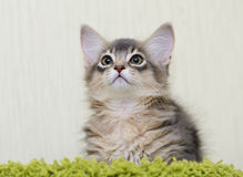 Cute somali kitten indoor. Portrait of a cute somali kitten in the house Stock Photography