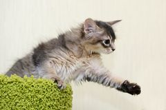 Cute somali kitten indoor. Portrait of a cute somali kitten in the house Royalty Free Stock Image